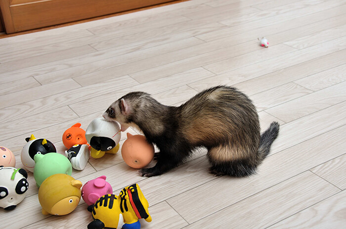 best toys for ferret