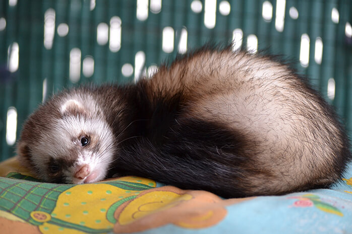 cleaning litter box ferret