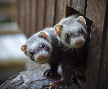 do ferrets eat human babies