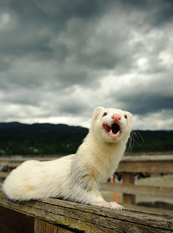 expect from first ferret