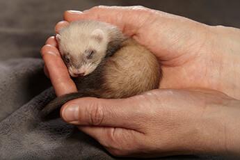 ferret 12 weeks