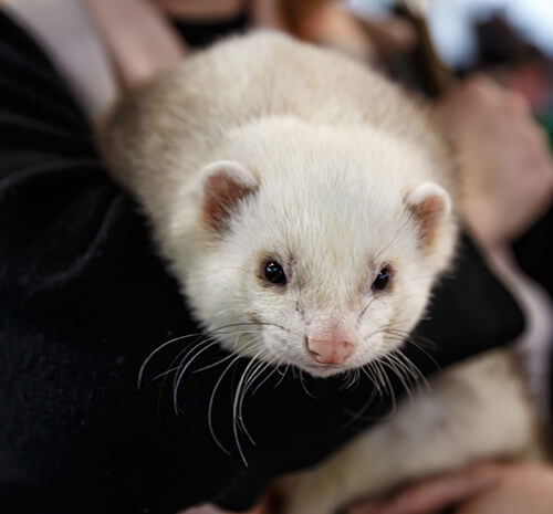 ferret adoption process