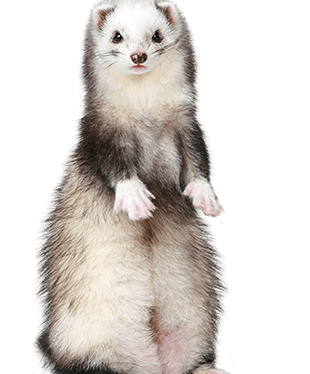 ferret are not for everyone