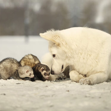 ferret get along