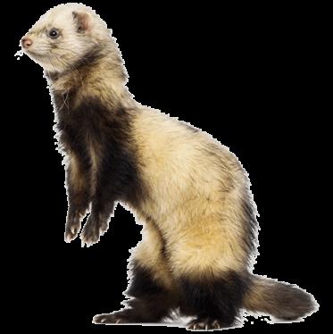 ferret in shelter