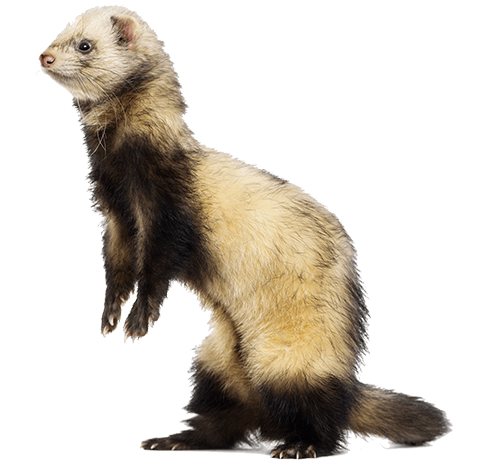 ferret in shelter