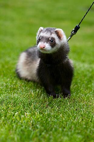 ferret legality