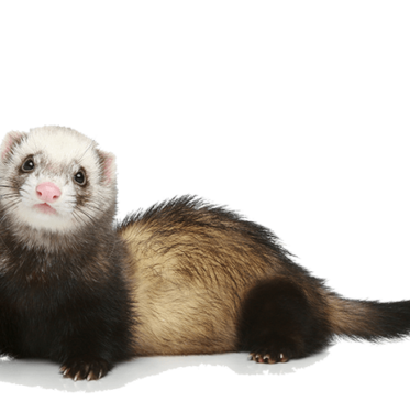 ferret make good pet