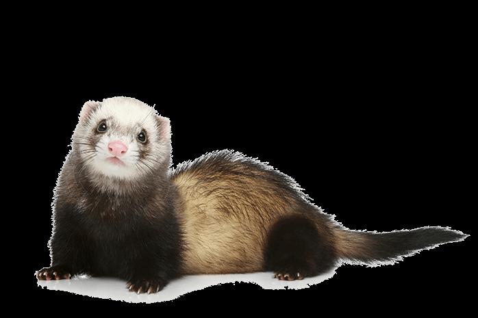 ferret make good pet