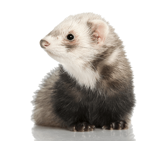 reduce ferret smell