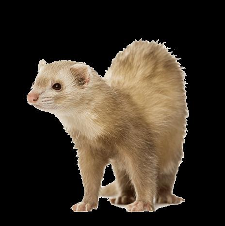ferret shelter