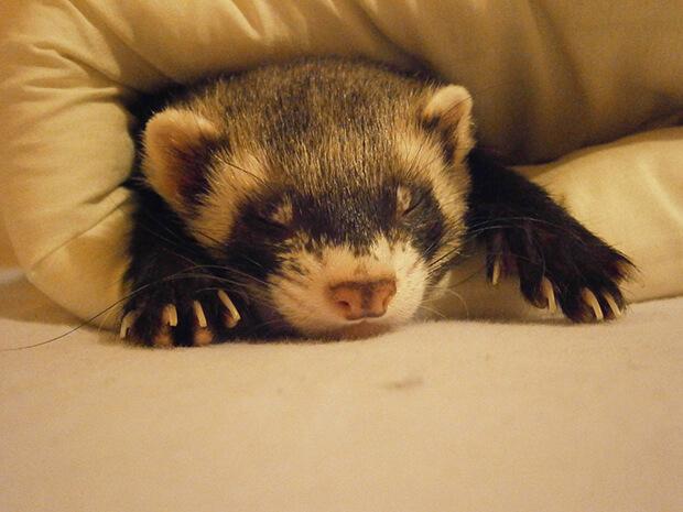 ferrets bedding