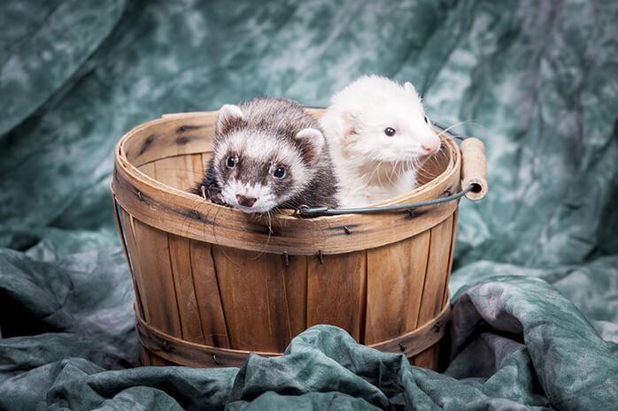 ferrets favour