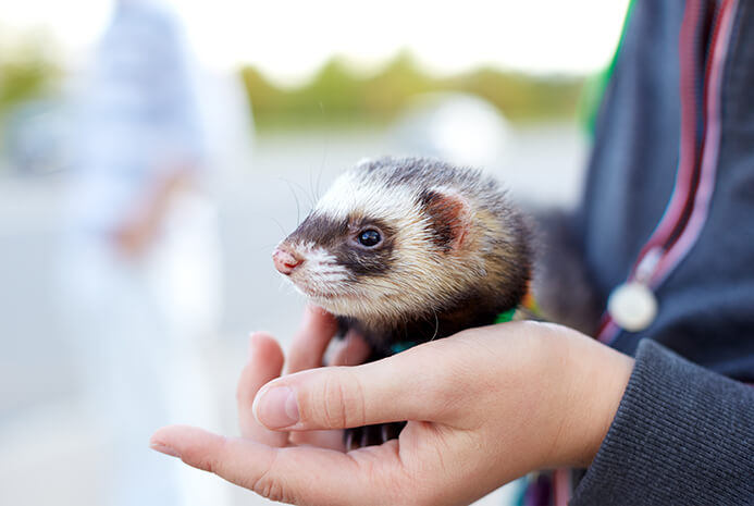 introduce your ferret to your children