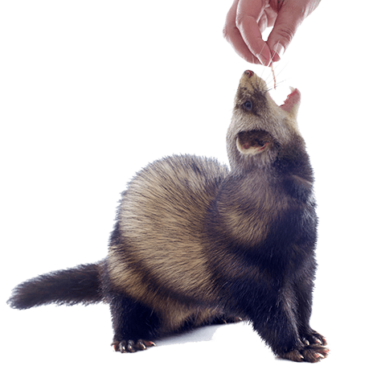 ferret need to eat?
