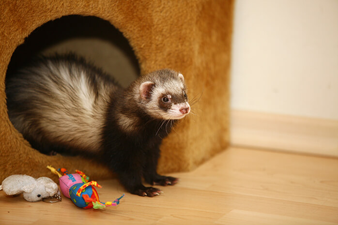 Ferret exercise and play