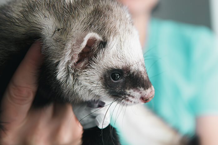 popular ferrets