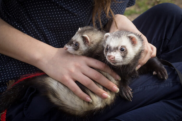 ferrets are children