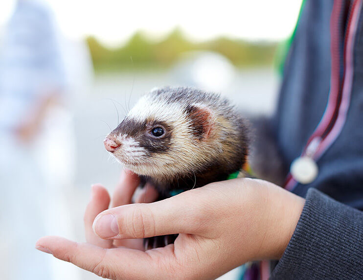 Can I Make My Ferret Sick Ferrets and Zoonotic Illnesses