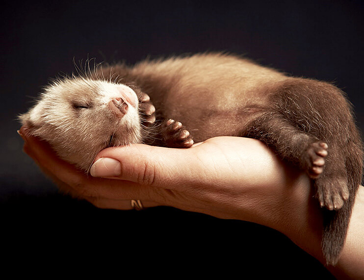 How to bond with your ferret