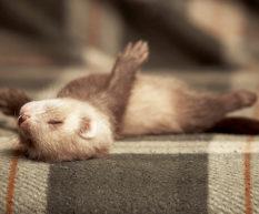New Ferret Checklist