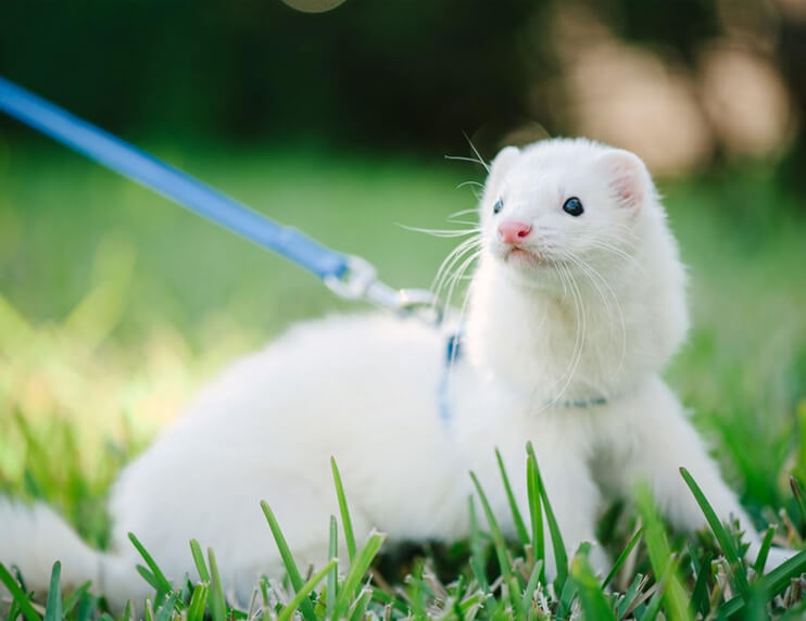 Safety when Walking Your Ferret