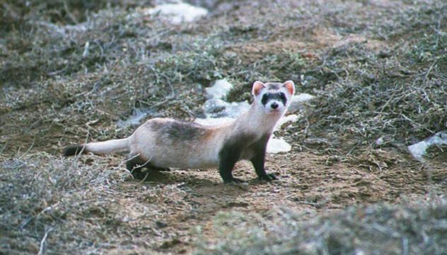 A black-footed ferret stands at attention amid grass and snow