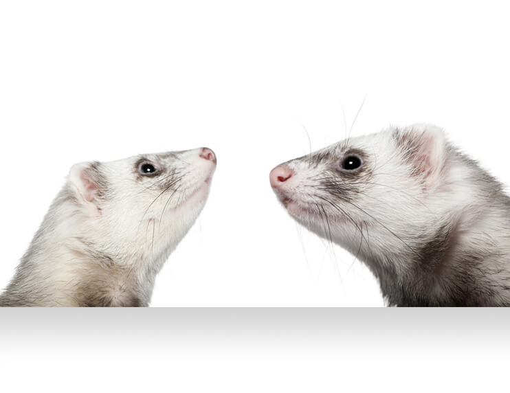 Ferret Dictionary - Speaking the mysterious language of ferret owners