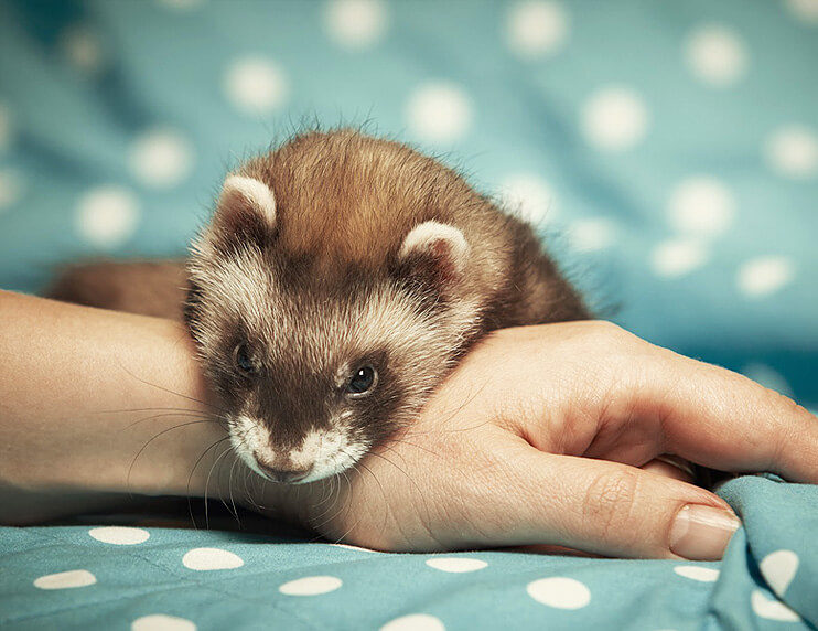 Ferrets as Emotional Support Animals