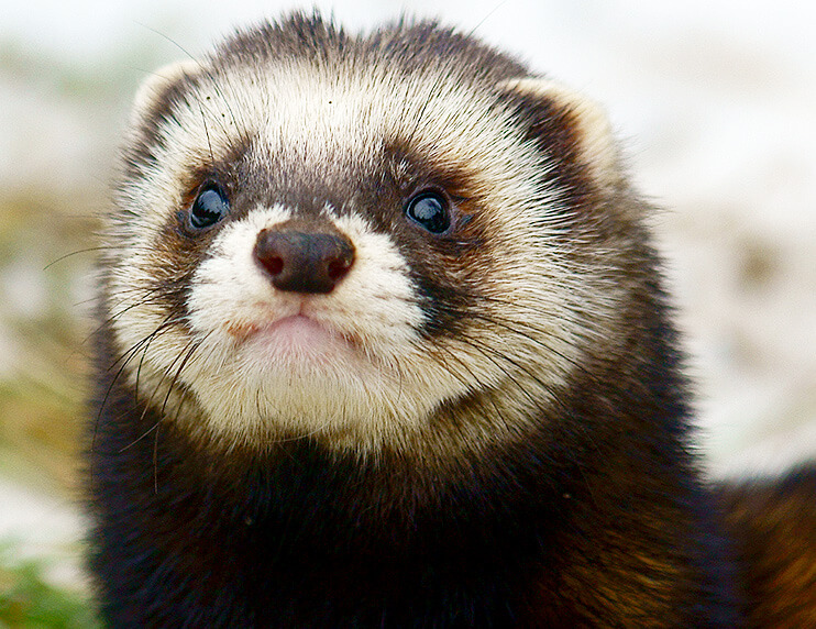 From Hunter to Companion: The Domestication of the Ferret