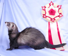 Genetic Variation in Ferrets: Inbreeding and the Ferret Gene Pool