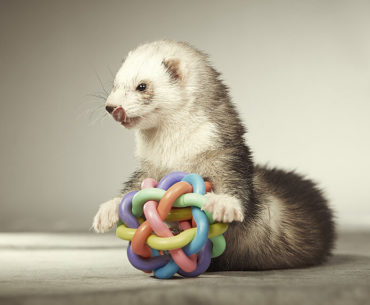 Intelligent Ferrets and Their Need for Stimulation
