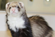 Sable masked ferret with a bib, photo by Scott Oves