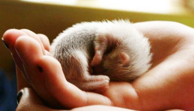Scientists are hoping that the sequenced ferret genome