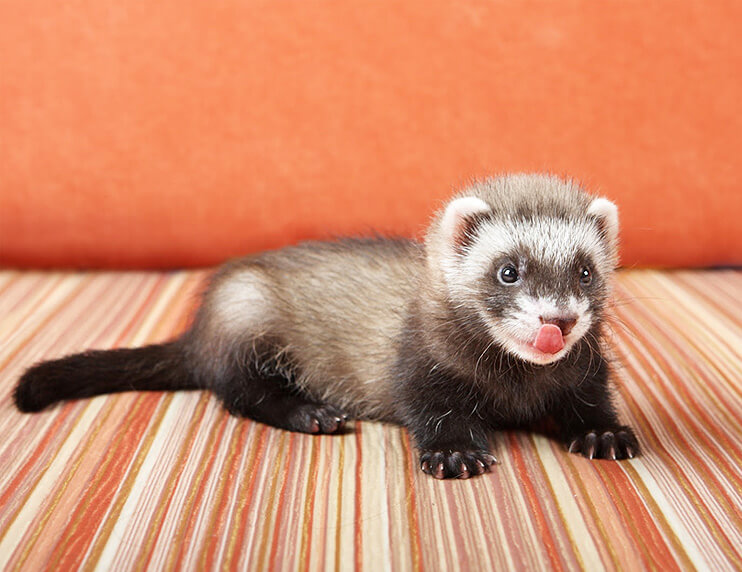 Should you get a baby ferret or an adult?