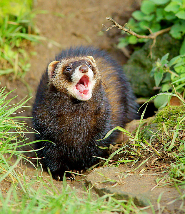 Velvet the polecat lets loose a big yawn at the British Wildlife Centre