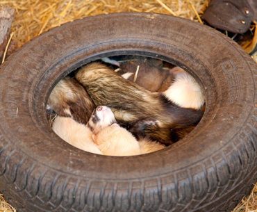 What Is It Like to Run a Ferret Shelter?
