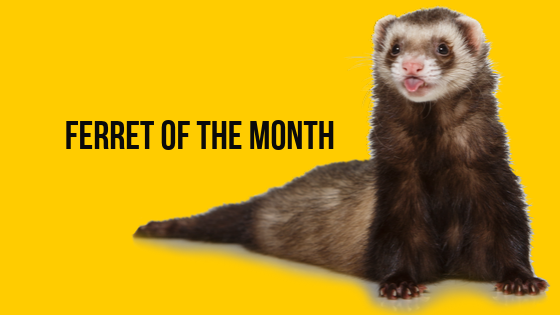 Ferret Of The Month