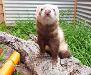 Meet The Ferret Of The Month For October...Alaska!