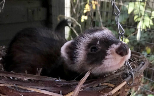 November's ferret of the month is… GNASHER