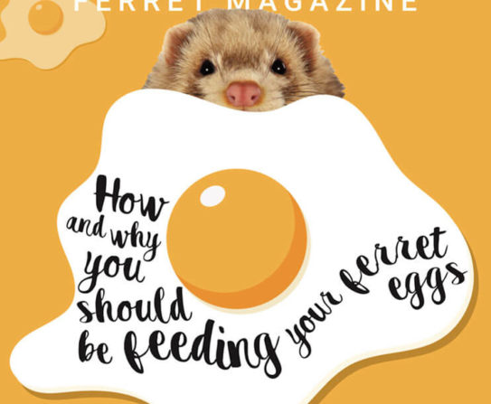 Should Ferrets Eat Eggs?