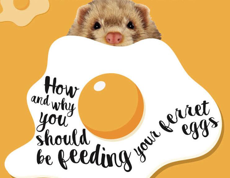 Should Ferrets Eat Eggs?