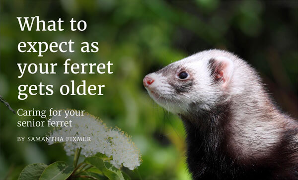 What to expect as your ferret gets older. Caring for your senior ferret.