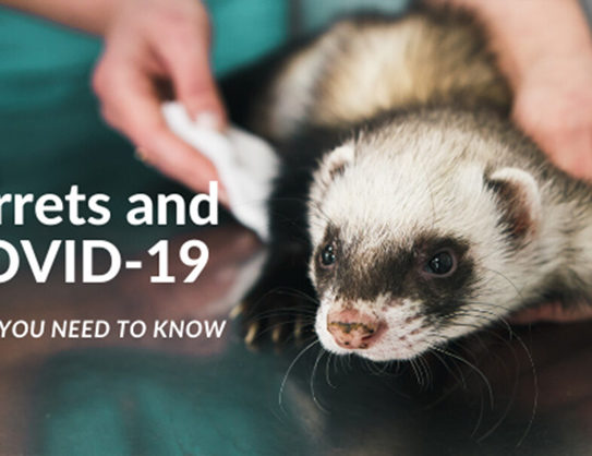 Ferrets and COVID-19 What You Need to Know