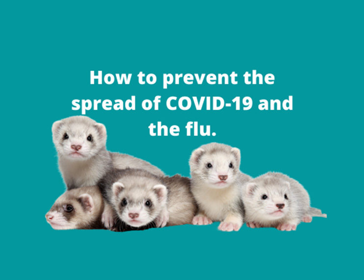 Protecting your ferret: How to prevent COVID-19 or flu transmission to your mustelid friend