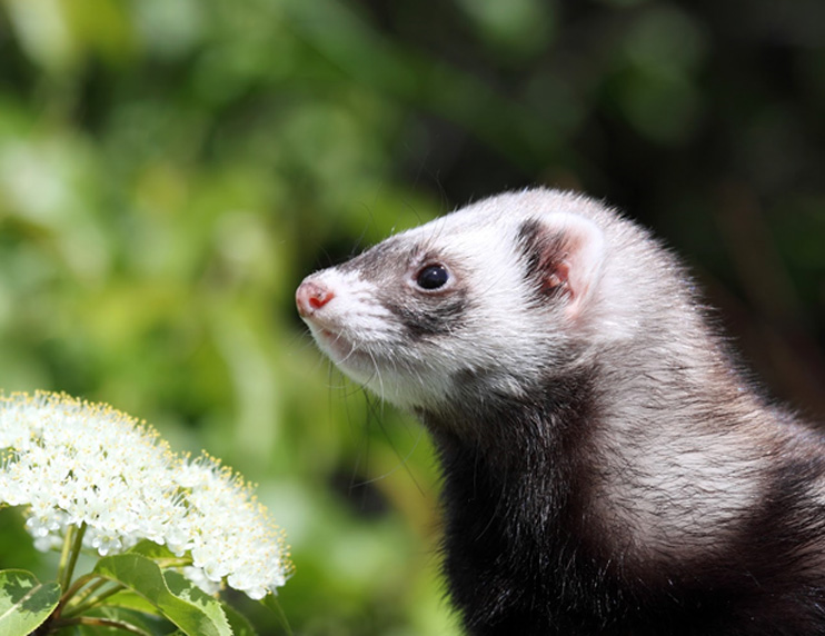 What to expect as your ferret gets older Caring for your senior ferret