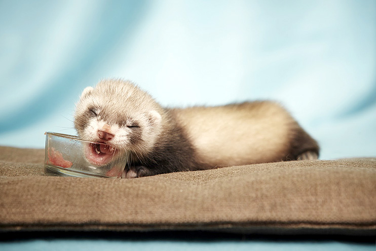 You can feed your ferret whole eggs or just the yolks