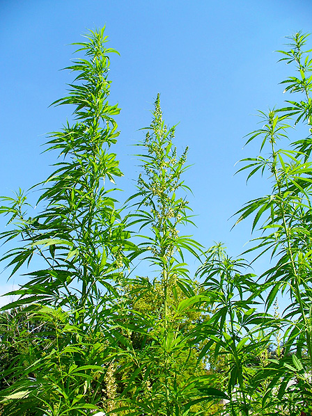 A collection of Cannabis sativa plants growing outside.