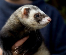 Treating and preventing ear mites in ferrets