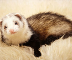 What's wrong with ferret health?